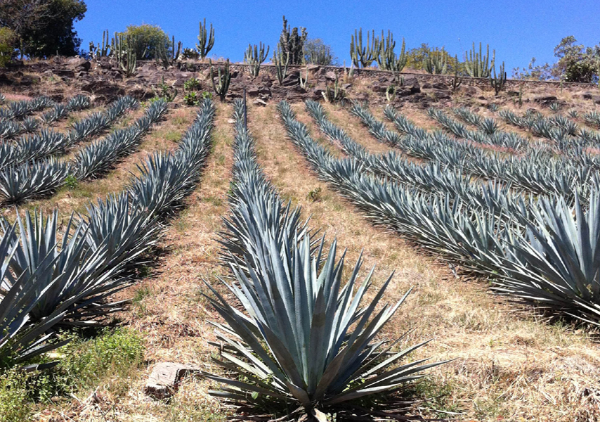 Agave plats to be havested in near future for Mexi-Cola agave netar.